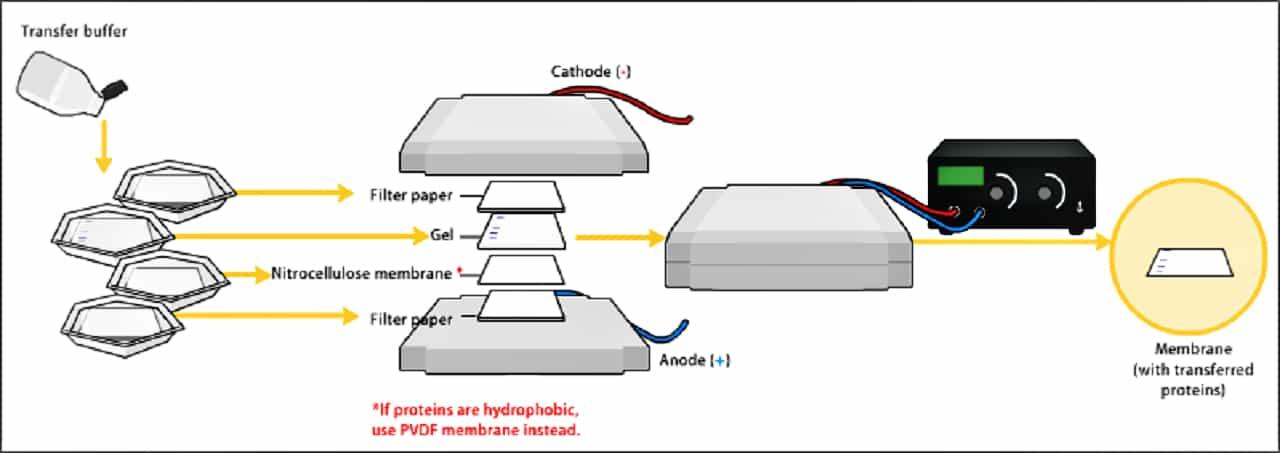 Western blotting – Introduction, Principle, Procedure & Uses